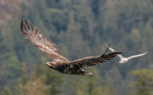 Juvenile Bald Eagle. Campbell River, BC.