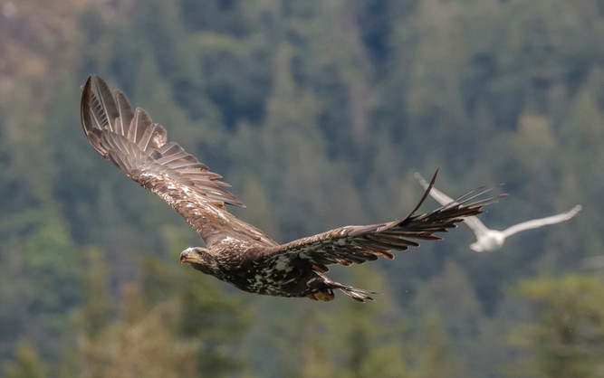 Juvenile Bald Eagle. Campbell River, BC.