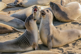 Elephant Seals. Big Sur, CA.