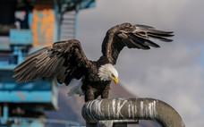 Bald Eagle. Seward, AK.