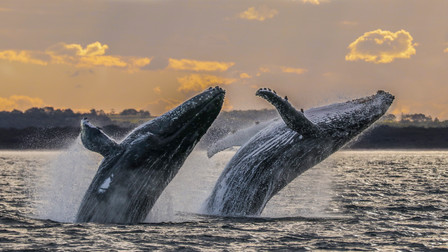 Humpback Whales. Port Stephens, NSW.