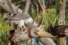 White-bellied Sea Eagle. Port Stephens, NSW.