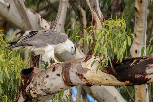 White-bellied Sea Eagle. Port Stephens, NSW.