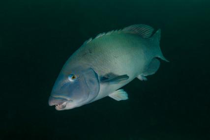 Eastern Blue Groper. Broughton Island, NSW.