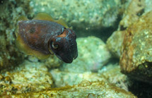 Cuttlefish. Port Stephens, NSW.