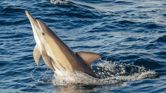 Short-beaked Common Dolphin. Port Stephens, NSW.