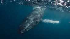 Humpback Whale. Kingdom of Tonga.