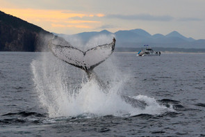 Humpback Whale. Port Stephens, NSW.