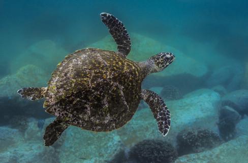 Hawksbill Sea Turtle. Port Stephens, NSW.