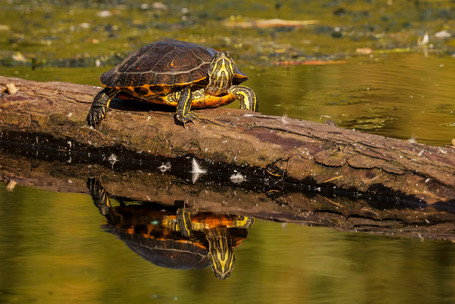 Western Painted Turtle. Victoria, BC.
