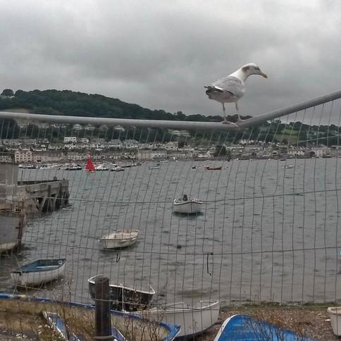Teignmouth's Heaviest Herring Gull