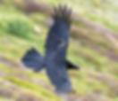 Corvo del roccerè