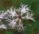 fiore endemico