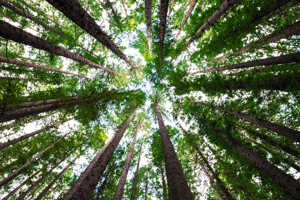 Looking up at trees from the ground