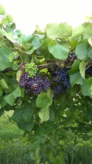 druiven wijngaard 2020.jpg
