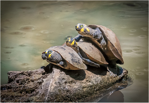 2019RFNHM_PRINT_088 - Yellow Spotted Side Necked Turtles by Brendan Hinds.  Highly Commended