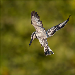 2019RFNHM_PRINT_111 - Pied Kingfisher by Brendan Hinds.  Commended