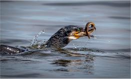 2019RFNHM_PDI_026 - Cormorant and eel by Brendan Hinds.