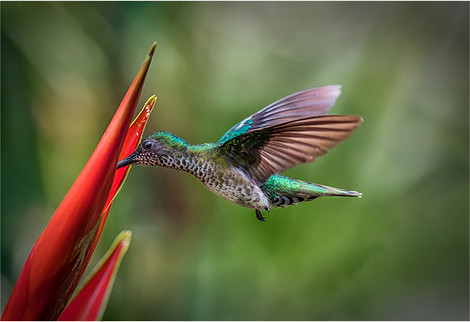 2019RFNHM_PDI_078 - Mangrove Hummingbird by Brendan Hinds. Highly Commended