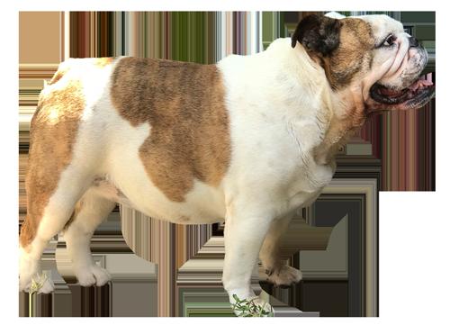 bull-dog-image.png