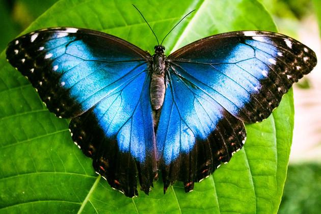Schmetterlingsgarten Vannes - Blauer Morpho