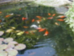 Koi Pond Fish Stock