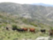 Cattle inside Ulaca oppidum