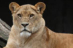 animal-cat-lion-56847.jpg