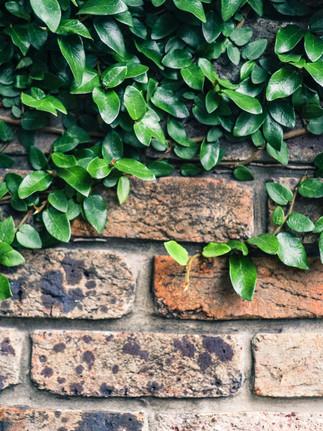 klatreplanter på mur