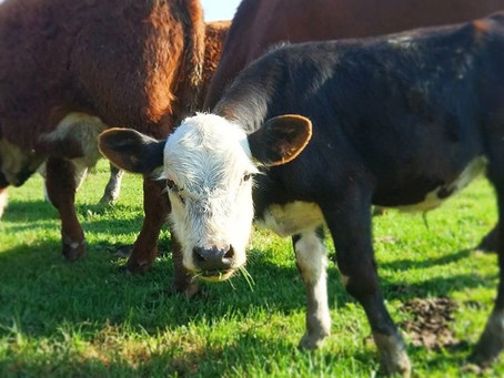 A Calf's Courage: The Story of Charlie