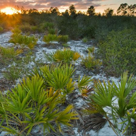Sunset Forest Bathing at Jonathan Dickinson State Park