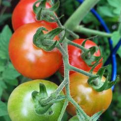 Tomatoes_1.jpg