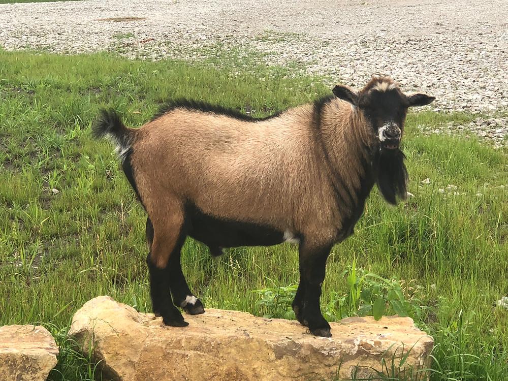 dwarf bilky goat