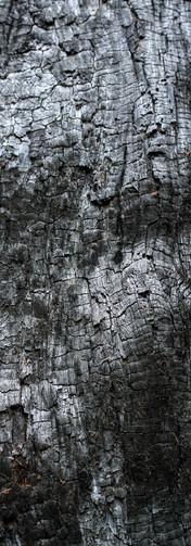 sequoia_trees2.jpg