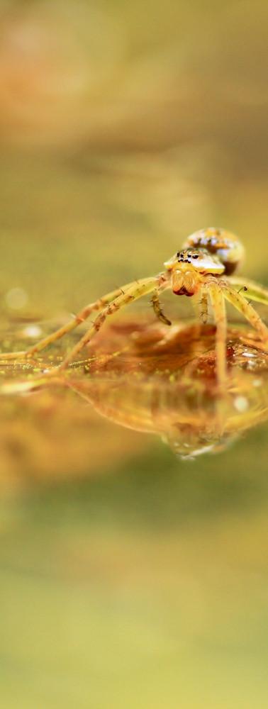 Araneae_Pisauridae_Thaumasia sp.02.jpg