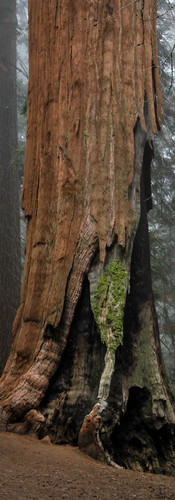 sequoia_trees9_modifié.jpg