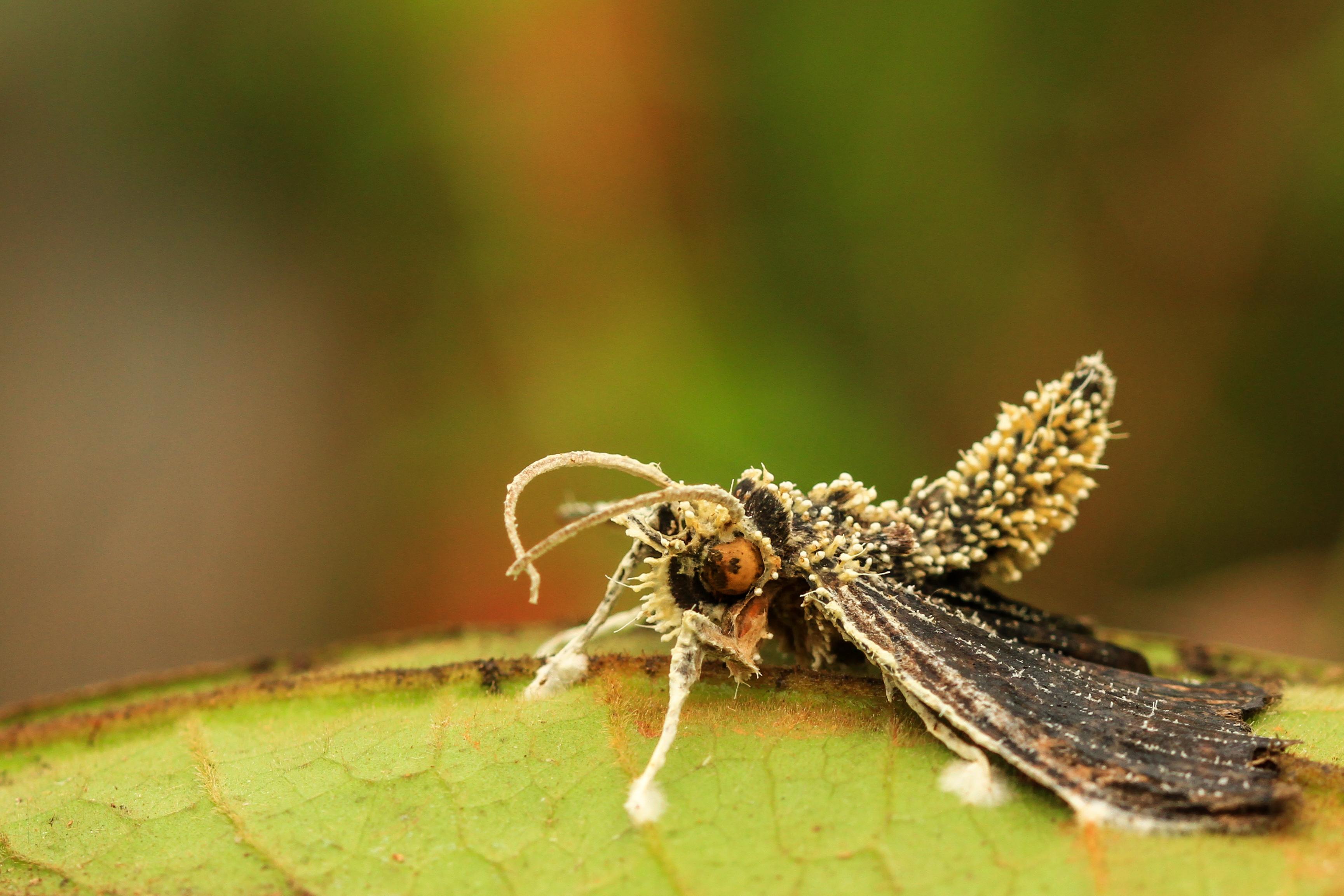 lepido parasité 1.jpg