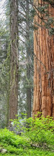 sequoia_trees3.jpg