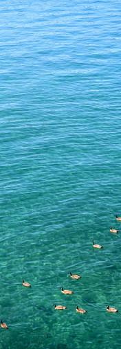 Tahoe lake_ducks1000px.jpg