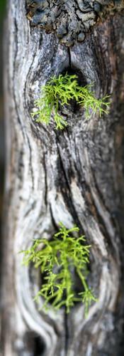 Tahoe lake_lichen1.jpg