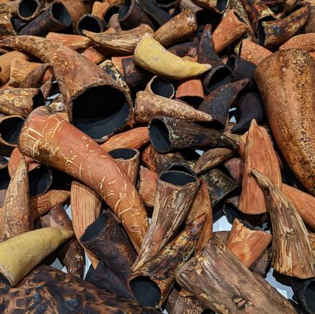 Cornu Deficientia - small horns