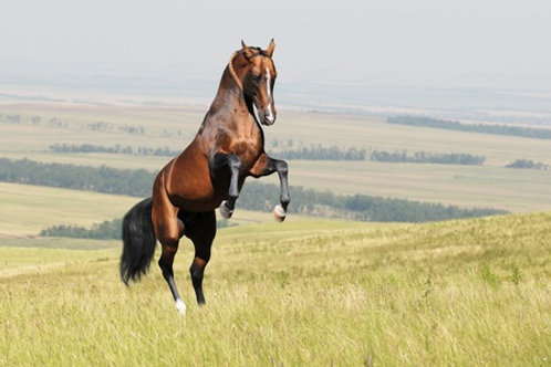 AI Collection Fee - OTHER STALLION