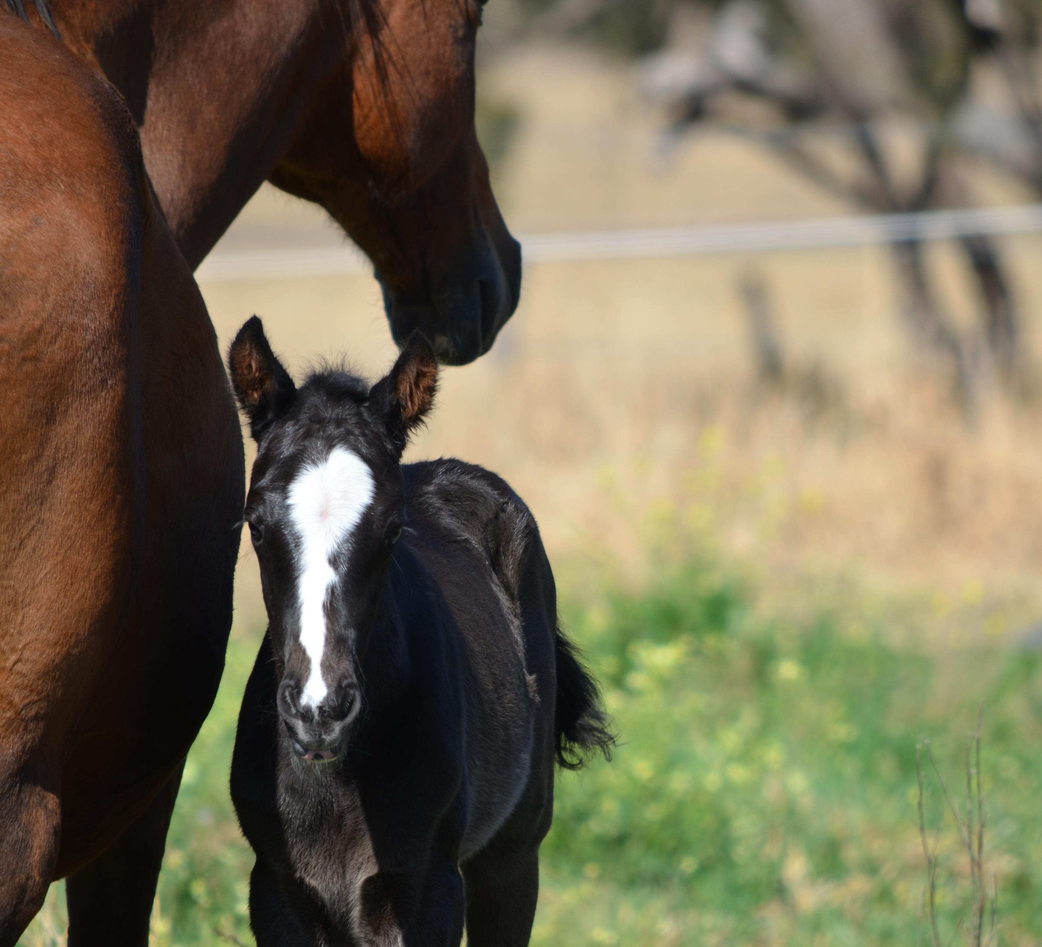 Star Black Minstril mare with Command filly foal -Epic