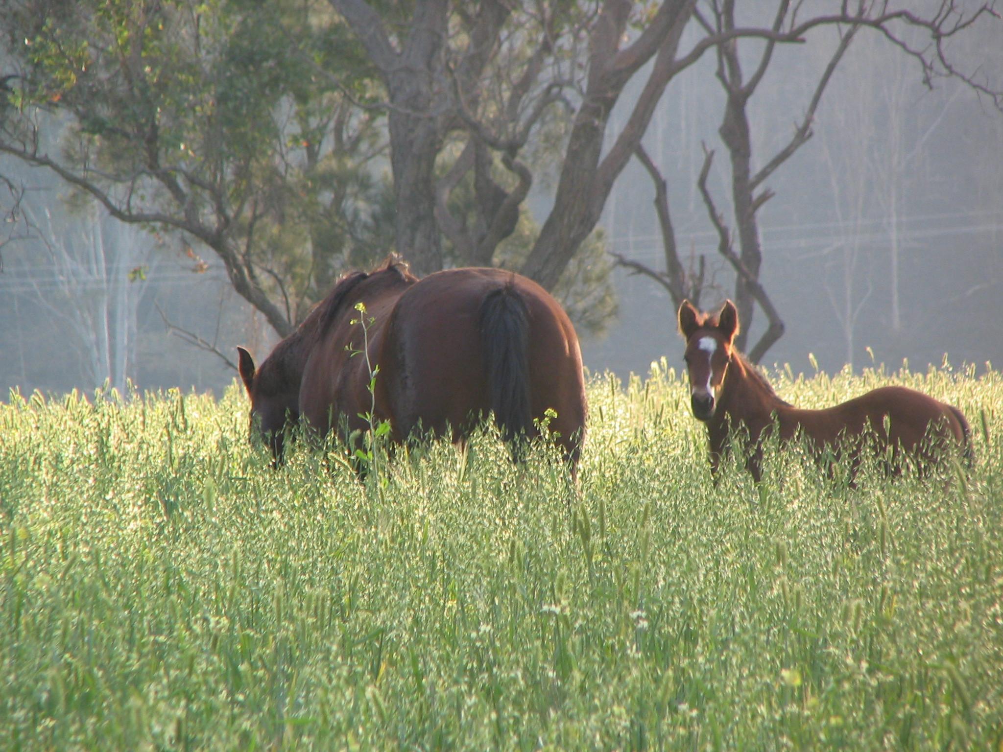 Boonara Performance Horses Foals