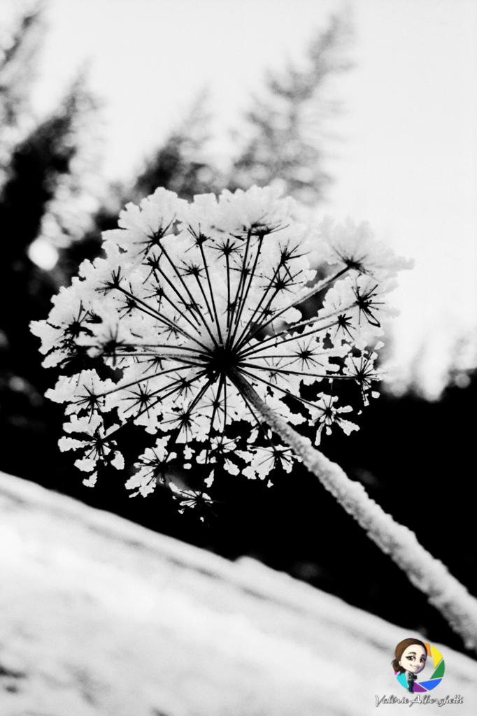 Fleurs de neige