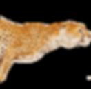6-2-cheetah-transparent.png