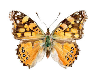 Mariposas Nativas en Chile: Un mundo por descubrir