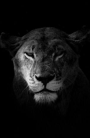 photo d'art, lion, Cyril Guillaume