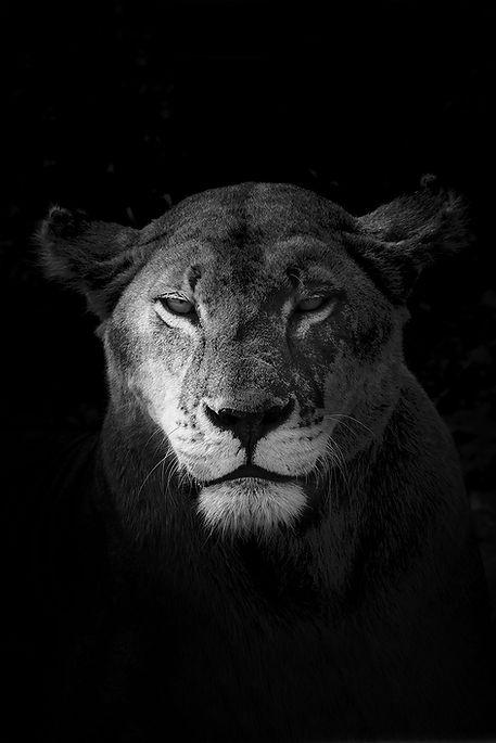 Cyril Guillaume, lion, tanzanie, noir et blanc, photo d'art