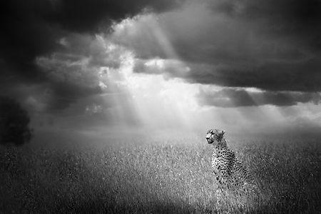 Cyril Guillaume, photo d'art, guépard afrique, tanzanie
